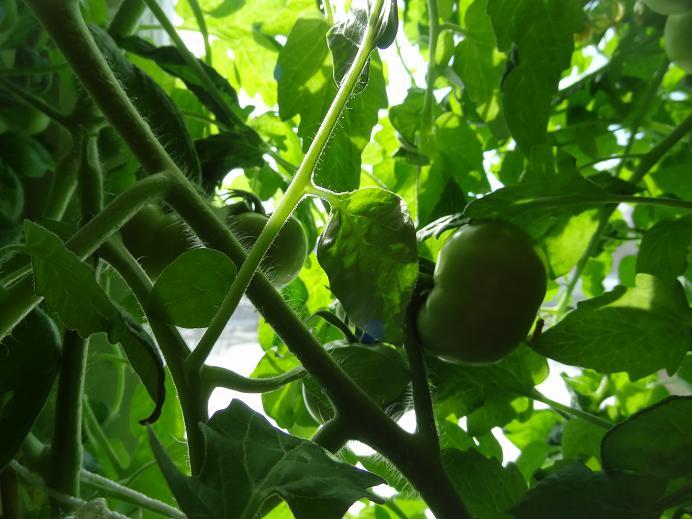 Фитофтора на помидорах как бороться эффективные препараты