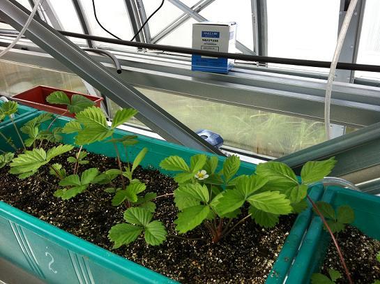 Клубника в закрытом грунте выращивание и уход 15